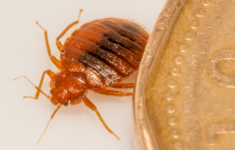 Adult Bed Bug besides a Canadian dollar coin.