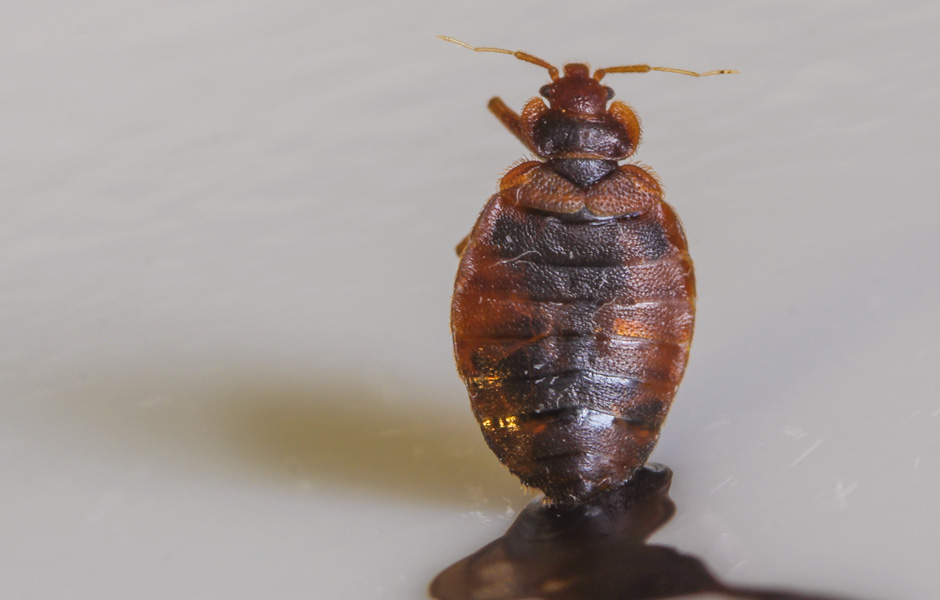 Dorsal View of an adult Bed Bug
