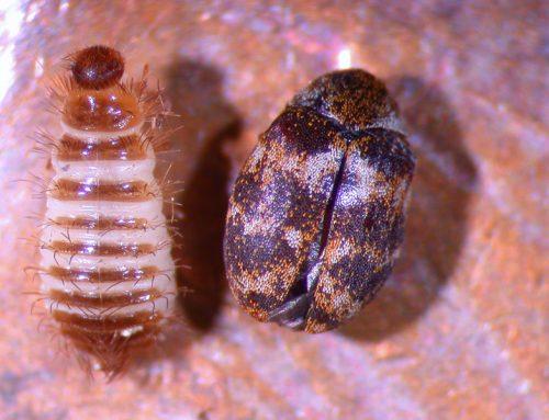 Carpet Beetle – Adult and Larvae