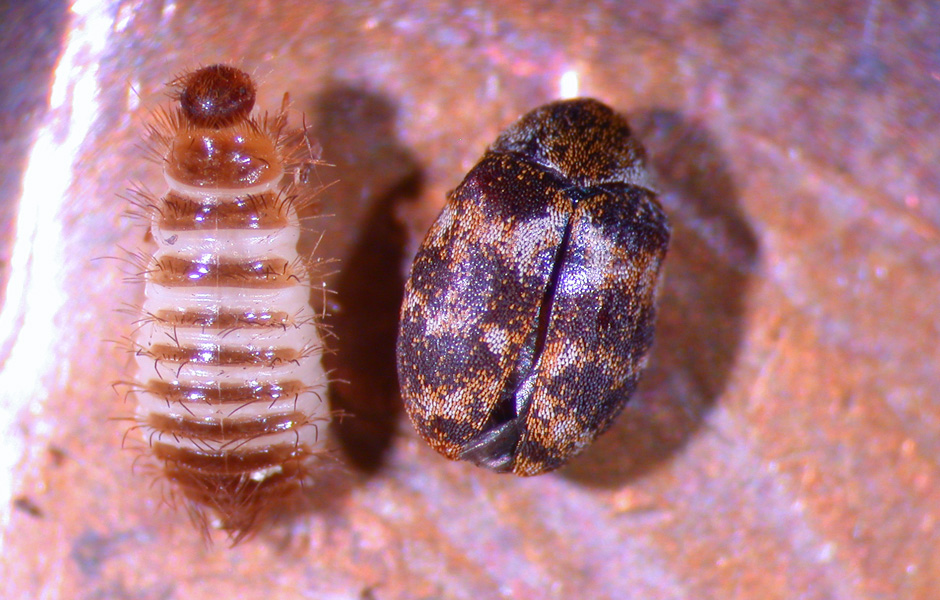Carpet Beetle - Adult and Larvae