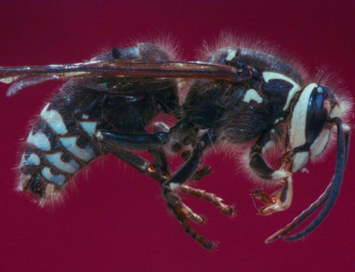 Wasps, Paper Wasps, Hornets, and Yellow Jackets