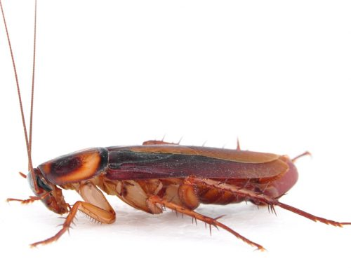German, American, Oriental and Brown Banded Cockroaches