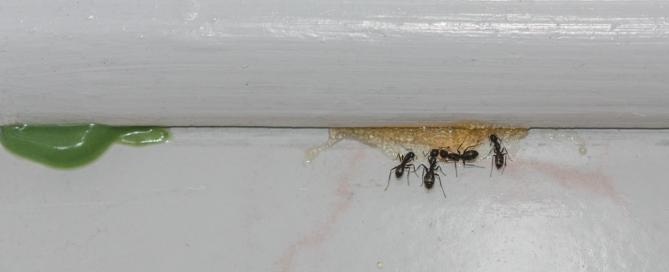 Carpenter Ants feeding on Sugar based bait. Green protein bait is on the left.