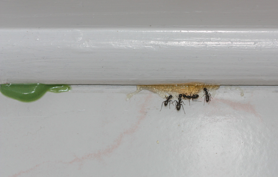 Carpenter Ants feeding on Sugar based bait. Green protein bait is on the left.